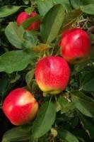 1תפוח